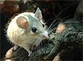 Иглистые мыши восстанавливают собственную кожу с нуля