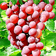 Виноград предотвратит рак кожи