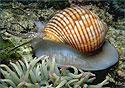 Морские улитки из Тасмании помогут избавиться от герпеса