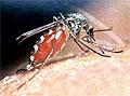 Генетически модифицированные комары вызывают все больше опасений