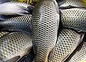 Для лечения ожогов впервые успешно применили рыбью кожу