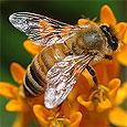 Пчелы скрывают в себе универсальное средство от морщин